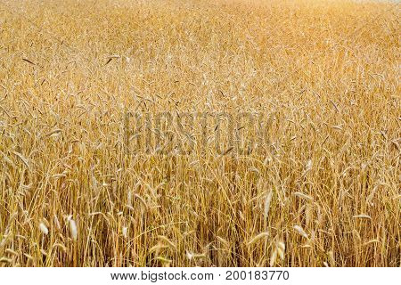 Harvesting of wheat ears. Gathered crops on field of agricultural farm. Golden ears of grain crops. Klaipeda Lithuania Baltic