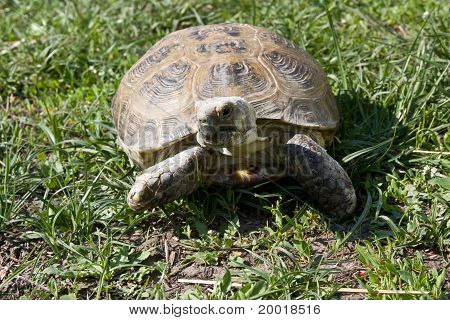Turtle In The Grass
