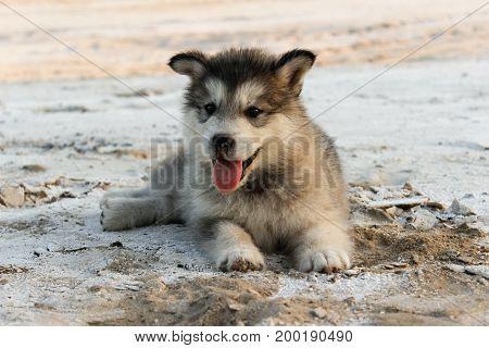Puppy Alaskan Malamute close-up on sand in summer