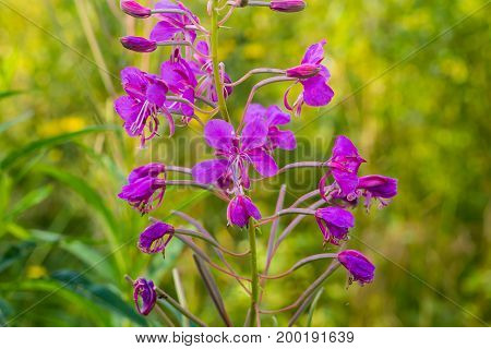 Chamaenerion angustifolium or Epilobium angustifolium, or Koporye tea - anti-inflammatory medicinal plant. Ancient medicinal plant - to treat prostate, cancer and the neuroses.