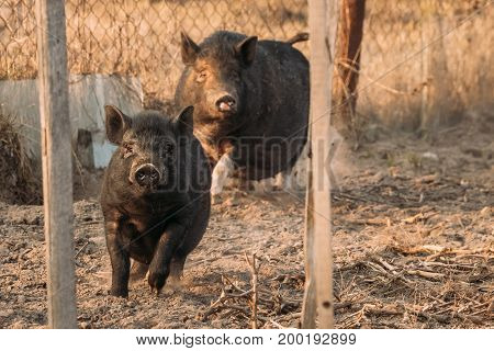 Two Household Black Pigs Running In Farm Yard. Pig Farming Is Raising And Breeding Of Domestic Pigs. It Is A Branch Of Animal Husbandry. Pigs Are Raised Principally As Food