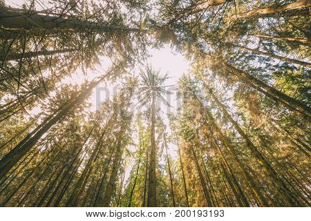 Looking Up In Autumn Pine Coniferous Forest Trees Woods To Canopy. Bottom View Wide Angle Background. Old Greenwood Forest