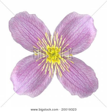Clematis Pink Flower Isolated On White
