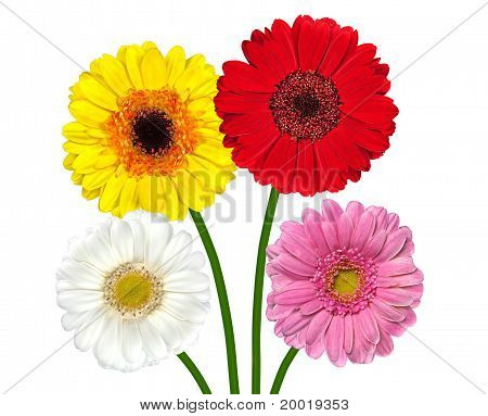 Four Colorful Gerber Flowers Isolated On White