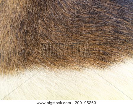 Macro Dog Hair Background Fox Terrier X Jack Russell