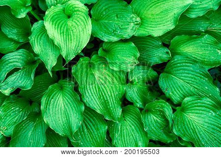 Background of fresh green leaves with copy space. Green leaves background. Green background with leaves. Flat lay free space. Nature background