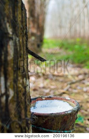 Milky latex extracted from rubber tree Hevea Brasiliensis as a source of natural rubber in Thailand.