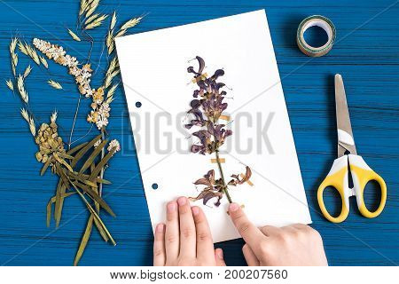 Girl makes herbarium of medicinal plants. Dry plant of sage meadow (Salvia pratensis) is attached to piece of paper. Concept of education and alternative medicine