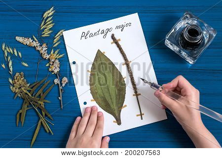 Girl makes herbarium of medicinal plants. Girl writes latin name on sheet with dry plant of plantain (Plantago major). An old pen with ink is used. Concept of education and alternative medicine