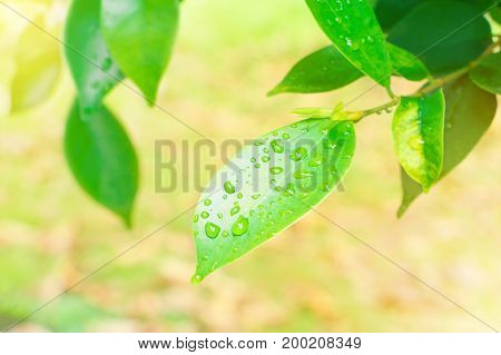 drop water on leaf green freshness in summer beautiful background with copy space add text and light sun soft yellow bright