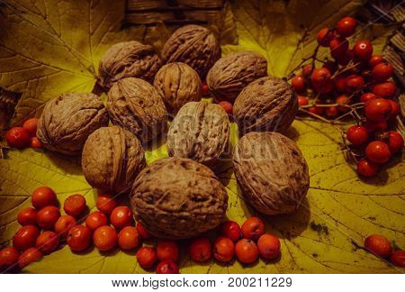 Walnuts with red berries on yellow leaves. Nuts of walnuts. Fresh autumn walnut harvest