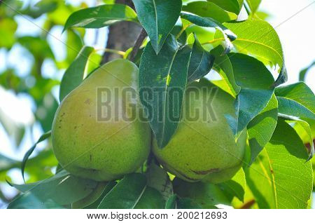 Ripe green pear on the branch. Organic pears grow in orchards
