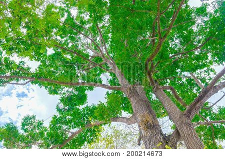 big tree trunk and branch leaf beautiful in the forest bottom view with copy space add text