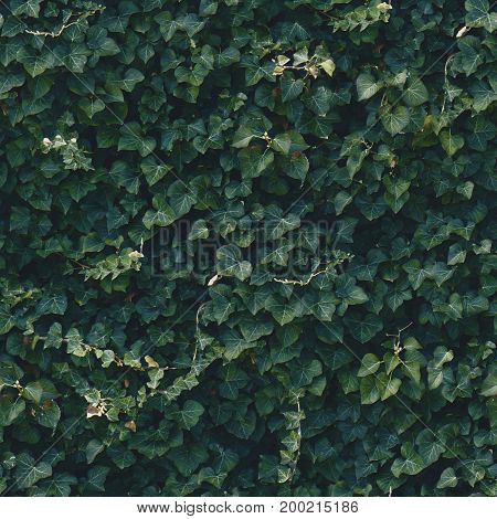 Seamless dark green ivy wall pattern. Outdoor bush in park.
