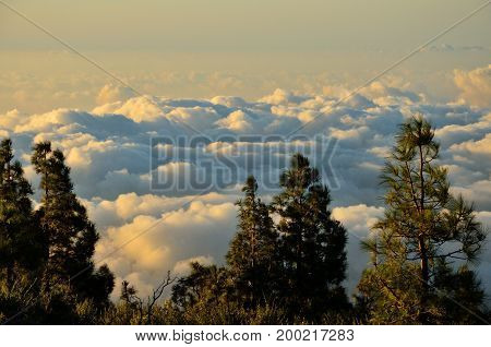 Pines in foreground and sea of clouds in background