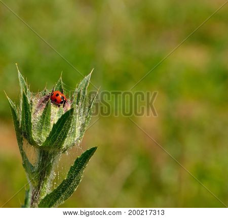 Flower head of wild thistle in foreground with small ladybug inside