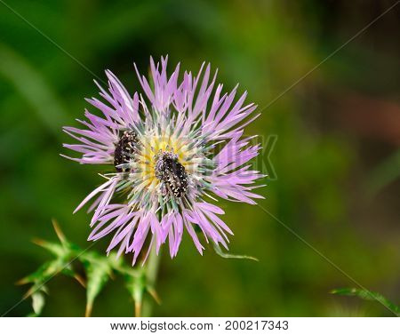 Small insects inside the flower of wild thistle