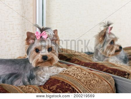 Yorkshire Terrier on the couch in the room near the mirror