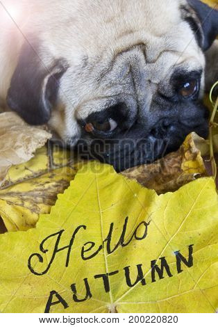Sad pug laying on yellow dry autumn leaves