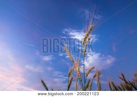wheat field wheat field on the background cornfield Ukraine