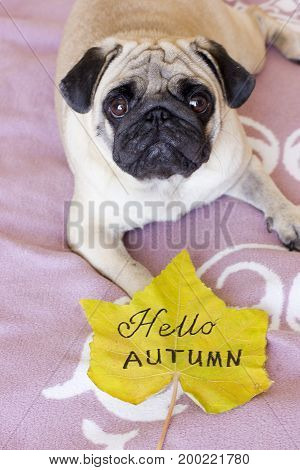 Sad pug laying with autumn yellow leaf