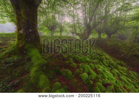 Green bubbles in a foggy forest in Spain