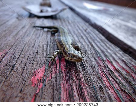 Small brown lizard on a wooden board , (Lacerta agilis)
