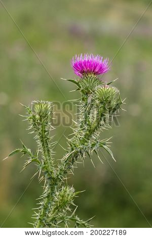 Thistle Buds And Flowers On A Summer Field