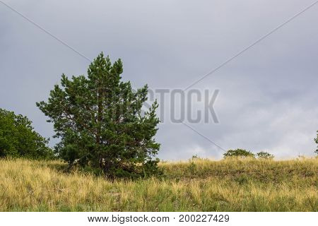 Natural Summer Landscape: Meadow, Field With One Spruce Tree And Clouds.