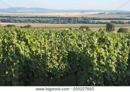 Sunny Green Vineyard Landscape on a Summer Afternoon