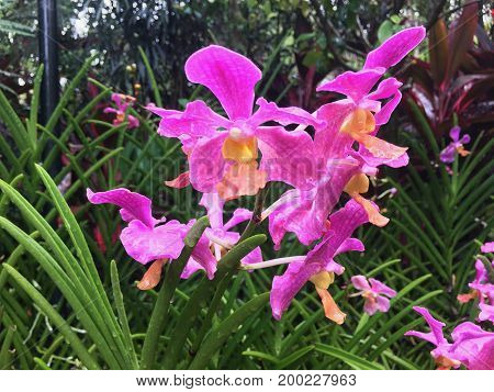 Pink Vanda Andrea Bocelli hybrid orchid flowers