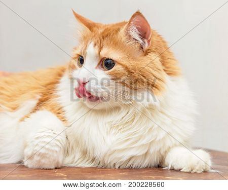 Ginger white cat with tongue on light background