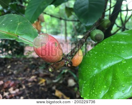 Liberian coffee tree with fruit and leaf from Angola Africa