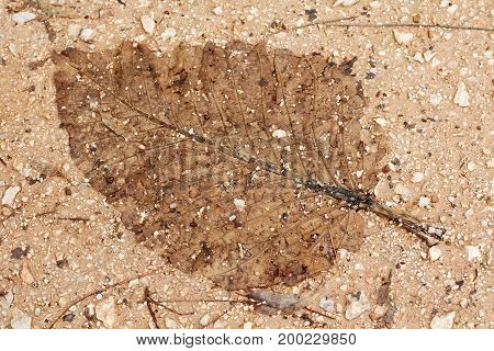 Old dry leaf imprinting on the ground look like a fossil