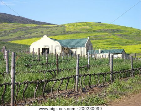 FROM DURBANVILLE, CAPE TOWN, SOUTH AFRICA,VIEW OF  GRAPE VINES IN THE FORE GROUND, A FARM HOUSE IN THE CENTER GROUND AND GREEN HILLS IN THE BACK GROUND