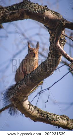 Cute squirrel sitting on a Z-shaped branch