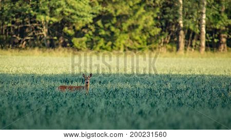 Roe deer peeking up in a grain field