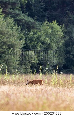 Roe deer buck grazing in field near forest
