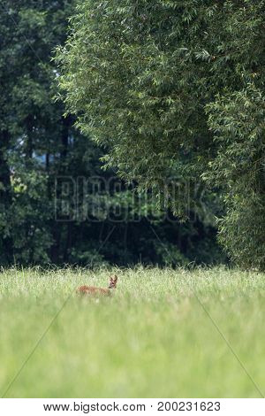 Roe Deer Doe In Tall Grass Under Trees