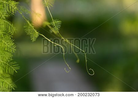 natural background with trudging plant on the metal bars of the fence with strong blur and bokeh