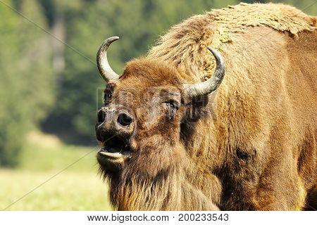 portrait of bellowing european bison ( Bison bonasus )