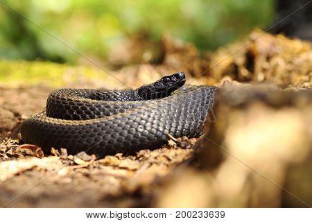 black snake on forest ground Vipera berus nikolskii melanistic specimen