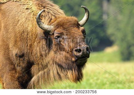 close-up of european bison ( Bison bonasus )