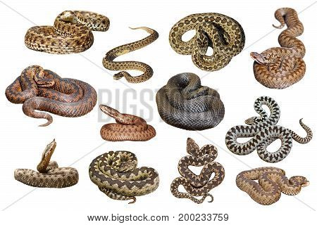 collection of isolated european venomous snakes on white background dangerous vipers and adders for your design