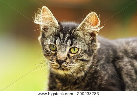 curious domestic kitten face portrait of beautiful young animal with fluffy hair on ears