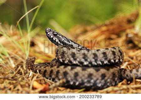 colorful european common viper on the ground ( Vipera berus )
