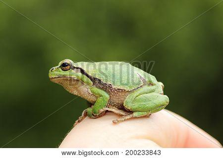 cute european green tree frog on woman hand ( Hyla arborea )