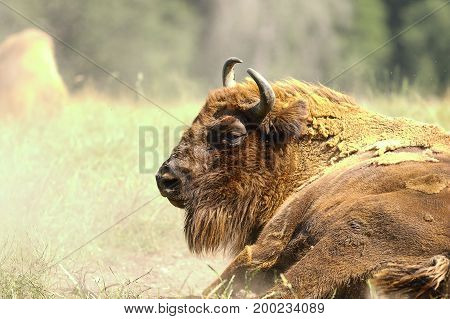large male european bison close up ( Bison bonasus )