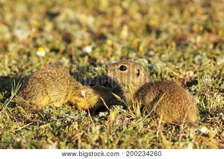 european ground squirrels brothers in natural habitat ( Spermophilus citellus )