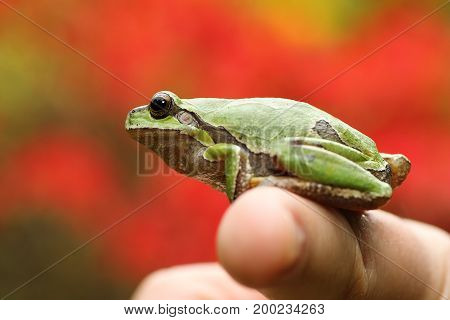 green tree frog on woman's finger ( Hyla arborea )